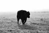 Bull after Ice Storm Photographic Print by Amanda Lee Smith