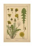 Dandelion Giclee Print