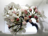Cherry Blooms Photographic Print by Karen Williams