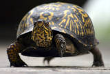 Box Turtle Photographic Print by Karen Williams