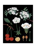 Cherry Tree Giclee Print