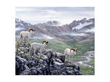 Dall Sheep at Denali Giclee Print by Jeff Tift