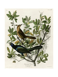 Boat Tailed Grackle Giclee Print
