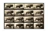 Buffalo Running, Animal Locomotion Plate 700 Photographic Print