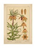 Crown Imperial Giclee Print
