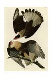 Brasilian Caracara Eagle Giclee Print
