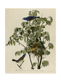 Blue Grosbeak Impression giclée