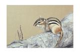 Chipmunk Giclee Print by Rusty Frentner