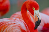 Flamingo Photographic Print by Dennis Goodman