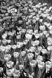 Field of Tulips HR Fotografie-Druck von Jeff Pica