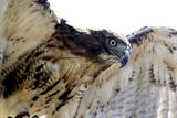 Hawk Swoop Photographic Print by Karen Williams