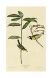 Hooded Warbler Giclee Print