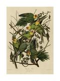 Carolina Parrot Giclee Print