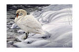 Edge of Light - Mute Swan Giclee Print by Jeff Tift