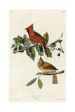 Cardinal Grosbeak Giclee Print