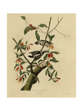 Downy Woodpecker Giclee Print