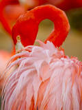 Flamingo 2 Photographic Print by Dennis Goodman
