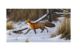 Fox Trot - Red Fox Giclee Print by Wilhelm Goebel