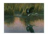 Evening Flight - Great Blue Heron Giclee Print by Wilhelm Goebel