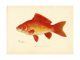 Poissons rouges Reproduction procédé giclée