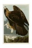 Golden Eagle Giclee Print
