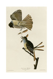 Great Crested Flycatcher Giclee Print