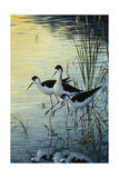 Elegant Trio - Blacknecked Stilts Giclee Print by Jeff Tift