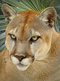 Florida Panther Photographic Print by Dennis Goodman