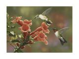 Hummingbirds and Trumpet Flowers Reproduction procédé giclée par William Vanderdasson
