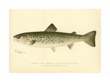 Female Land Locked Salmon Gicléedruk