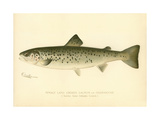 Female Land Locked Salmon Giclee Print