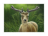 Fallow Buck in Velvet Giclee Print by Jeremy Paul