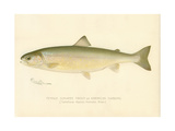 Female Sunapee Trout Giclee Print