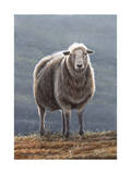 Herdwick Sheep Giclee Print by Jeremy Paul