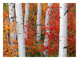 Aspens and Maples Posters by Elizabeth Carmel