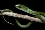 Philothamnus Angolensis (Green Bush Snake) Photographic Print by Paul Starosta