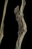 Cyrtodactylus Pulchellus (Malayan Forest Gecko) Photographie par Paul Starosta