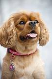 Cavalier King Charles Spaniel Photographic Print by Ron Dahlquist