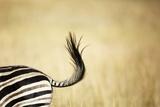 Zebra Tail, South Africa Photographic Print by Richard Du Toit