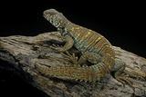 Uromastyx Ornata (Ornate Mastigure, Ornate Dabb Lizard) Photographic Print by Paul Starosta