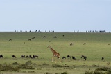 Kenya, Masai Mara National Reserve, Giraffe and Wildebeests in the Plain Photographic Print by Anthony Asael
