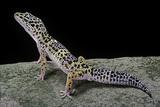 Eublepharis Macularius (Leopard Gecko) Photographie par Paul Starosta