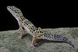 Eublepharis Macularius (Leopard Gecko) Photographic Print by Paul Starosta