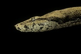 Candoia Paulsoni (Solomon Island Ground Boa) Photographic Print by Paul Starosta