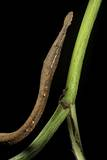 Langaha Madagascariensis (Leafnose Snake) - Female Photographic Print by Paul Starosta