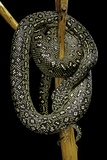 Morelia Spilota (Carpet Python) Photographic Print by Paul Starosta