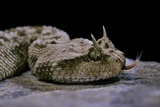 Cerastes Cerastes (Horned Viper) Photographic Print by Paul Starosta