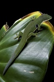 Phelsuma Quadriocellata (Peacock Day Gecko) Reproduction photographique par Paul Starosta