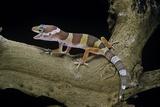 Eublepharis Macularius F. Albino (Leopard Gecko) Photographie par Paul Starosta