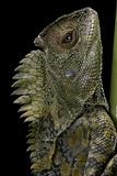 Gonocephalus Chamaeleontinus (Hump-Beaded Dragon) Photographic Print by Paul Starosta